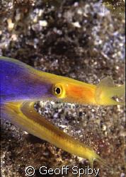 blue ribbon eel by Geoff Spiby