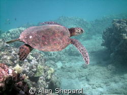 Another turtle.  I just love the picture.  As always, H-B... by Alan Shepard