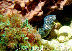 Little moray by Karl Hodgkins