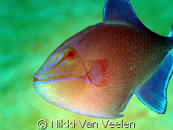 Juvenile triggerfish taken at the campsite in Ras Mohamed... by Nikki Van Veelen