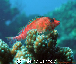 Hawkfish in the Sea of Cortez....Mexico by Thierry Lannoy