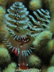 "Christmas Tree Worm, ""El Tubo"", dive site at Naguabo, P.R. by Abimael Márquez"