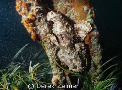 Scorpionfish, French bay, San Salvador Island. Nikonos V,... by Derek Zelmer