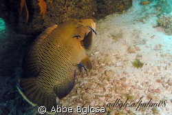 Big Wrasse at the Cleaning Station ... German Channel, Palau by Abbe Bglcsa