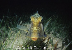 Trunkfish in night colors, Graham's Harbor, San Salvador ... by Derek Zelmer