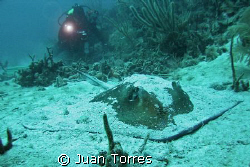"Abimael behind a Souther Stingray at ""El Tubo""dive site i... by Juan Torres"
