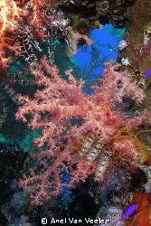Soft corals taken in Ras Mohamed Park with Olympus SP350. by Anel Van Veelen