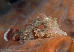 Scorpion fish on sponge. Lembeh straits. D200, 60mm. by Derek Haslam