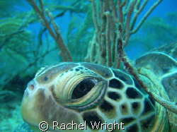 Green Turtle on the Boot reef by Rachel Wright