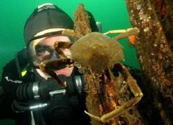 Diver and crab, Puget Sound, Seattle.   by David Heidemann