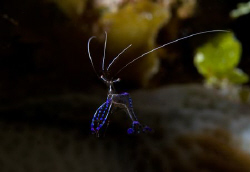 Peterson Shrimp by Andy Lerner