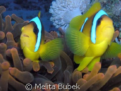 clownfish with anemone: it's normal relationship...but th... by Melita Bubek