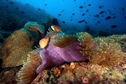 The Philippines has some terrific diving. by Dennis Champ