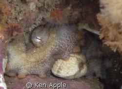 octopus and lunch,santa cruz island, chanel islands- cali... by Ken Apple