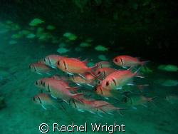 Glass Eye Snapper under one of the Carlisle Bay Wrecks by Rachel Wright