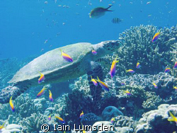 Green turtle on reef top by Iain Lumsden
