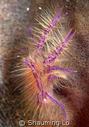 Hairy Squat Lobster by Shauming Lo