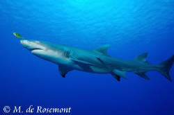 The majesty of the Lemon Shark. D50/12-24mm (Borabora). by Moeava De Rosemont