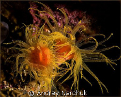 Actinium -  sea flowers) by Andrey Narchuk