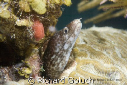 White Spotted Moray Eel by Richard Goluch