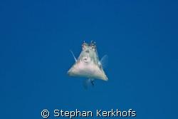Thornback trunkfish (tetrasomus gibbosus) taken in Na'ama... by Stephan Kerkhofs