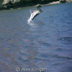Loreto Bay, Mexico. Pelican going for lunch.  by Alex Klingen