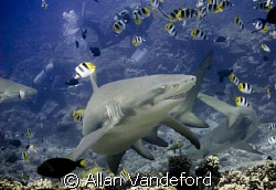 Grinning Lemon Shark at Tapu divesite near Bora Bora, Tahiti by Allan Vandeford