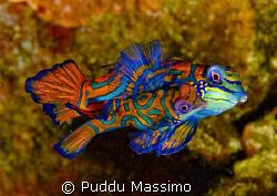mandarin fishes in love,nikon f90x 105mm macro by Puddu Massimo