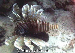 Lionfish by Harvey Reeve