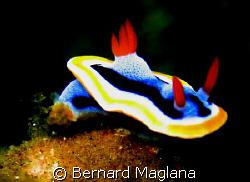 NUDI/House reef, El Dorado Resort,Dauin,Negros Oriental..... by Bernard Maglana