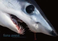 a baby mako caught and snapplingly unhappy- I am happy to... by Fiona Ayerst