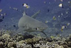 Lemon Shark at Tapu divesite near Boro Bora. by Allan Vandeford