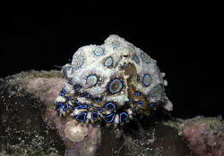 Blue Ring by Dr. Nudi
