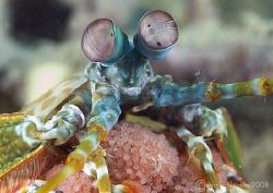 Mantis Shrimp & Eggs. Lembeh. 60mm. by Mark Thomas