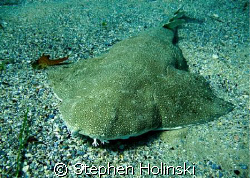 Found this Angelshark right at the beggining of the dive.   by Stephen Holinski