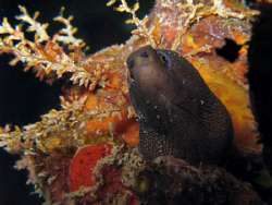 Goldentail moray on a night dive at Crash boats Piers in ... by Juan Torres