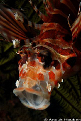 Yawning Lion fish. Picture taken at North Point, Malapascua. by Anouk Houben