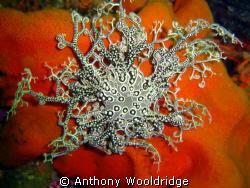 Basket Star taken at Scotsman Reef Port Elizabeth, IS0 10... by Anthony Wooldridge