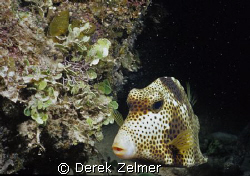 Spotted trunkfish, night snorkel. Nikonos V. by Derek Zelmer