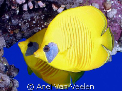 Masked butterflyfish taken at Quays with Olympus SP350. by Anel Van Veelen