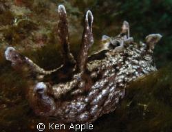 black sea hare,Aplsyia vaccaria.  santa barbra islan. nor... by Ken Apple