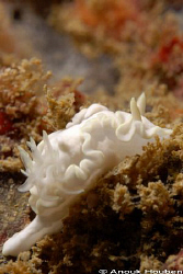 Glossodoris pallida. Picture taken on the second reef off... by Anouk Houben