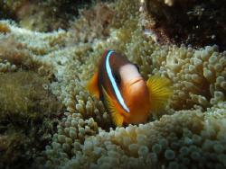 nemo on ualanga'uta reef Nuku'alofa harbour olympus 720sw... by Trevor Byett