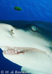 Close shot of Blanchette, a female lemon shark. D50/12-24... by Moeava De Rosemont