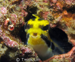 Talking blenny by Twink Lim