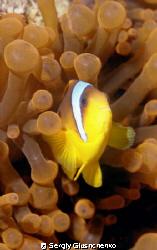 Clownfish and anemone by Sergiy Glushchenko
