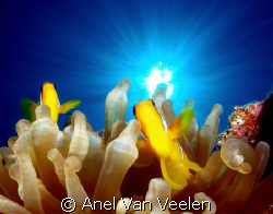 Red sea anemonefish taken at Marsa Bareika, Ras Mohamed P... by Anel Van Veelen