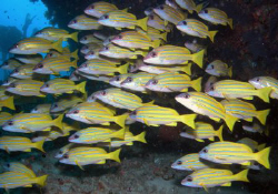 Blue-striped snappers by Dr. Nudi