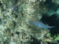 cuttle fish nuku'alofa harbour oylmpus 720 by Trevor Byett