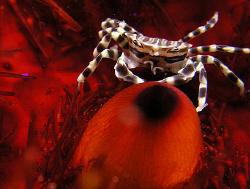 Zebra crab, Lembeh by Doug Anderson